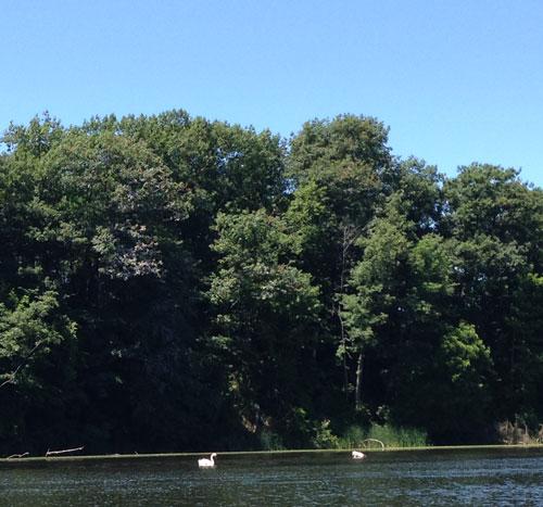 Swan family in 18 Mile Creek
