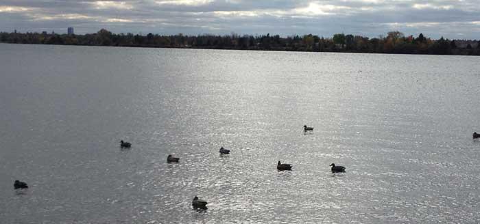 beaverisland-ducks